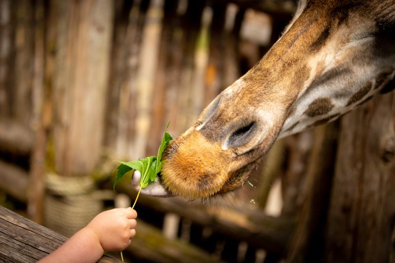 chubby kid feeding giraffe